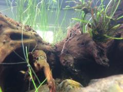 Freshwater shrimp.JPG